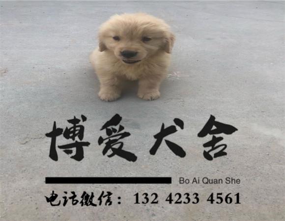 金毛犬价格:1800元