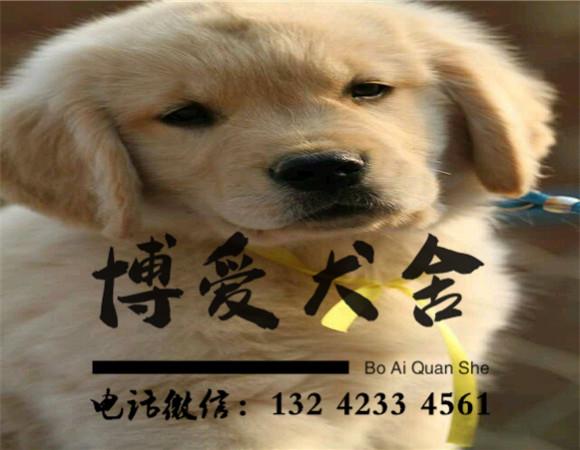 金毛犬价格:2300元
