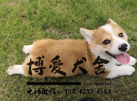 柯基犬报价.3500元