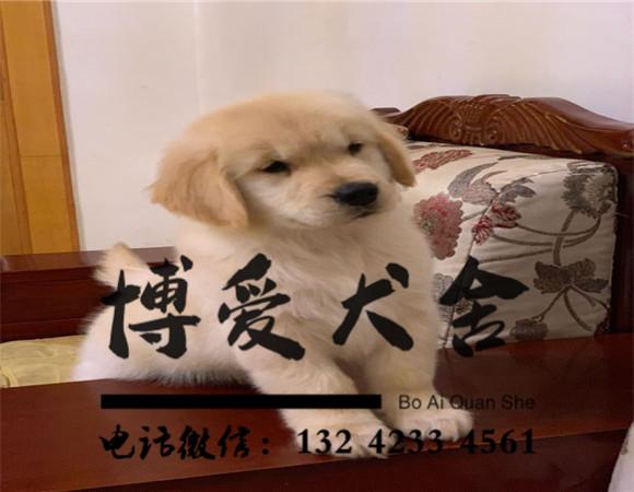 金毛犬价格:3500