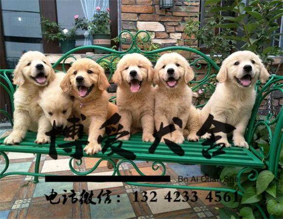 金毛犬价格:2000元