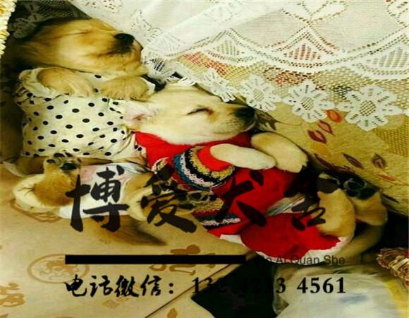金毛犬价格:2300元.