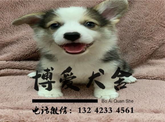 柯基犬价格.3200元