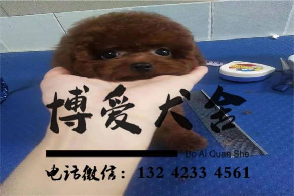 泰迪犬价格.2500元