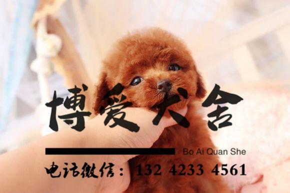 贵宾犬价格.2200元