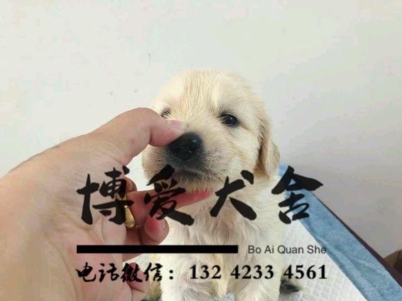 拉布拉多犬价格.1800元