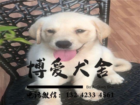 拉布拉多犬价格.2300元