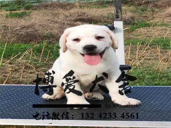 拉布拉多犬价格.3200元