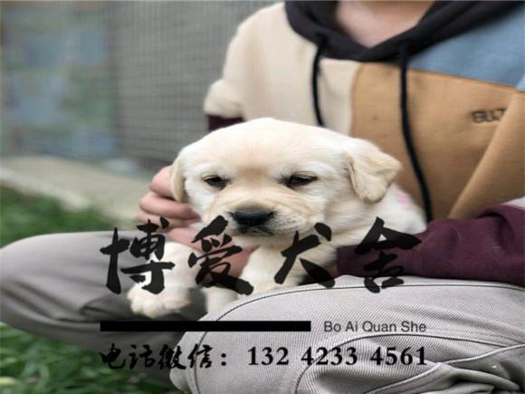 拉布拉多犬价格.2600元