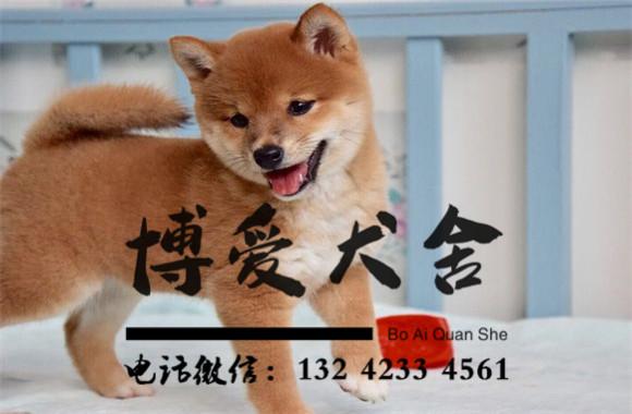 日本柴犬价格.18000元