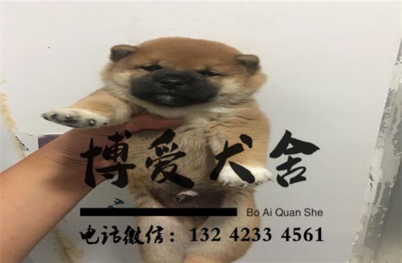 纯种柴犬价格.5600元