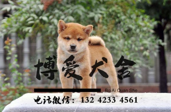 柴犬价格,5800元