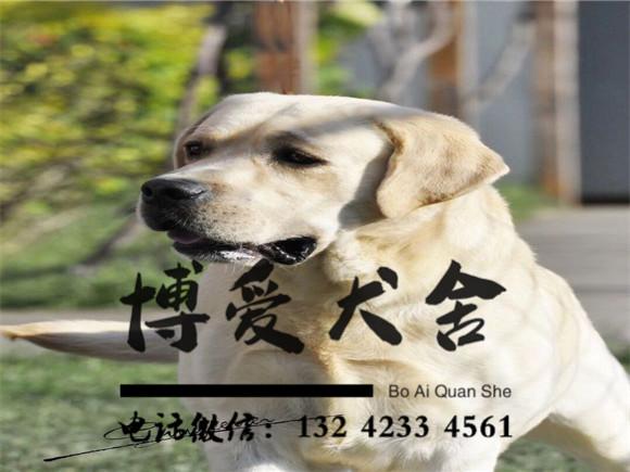 拉布拉多犬种犬照片