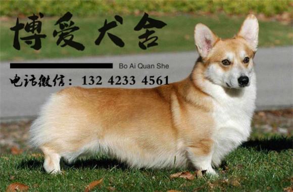 柯基犬种犬图片